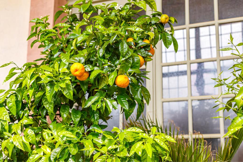 orangery is designed to protect orange trees
